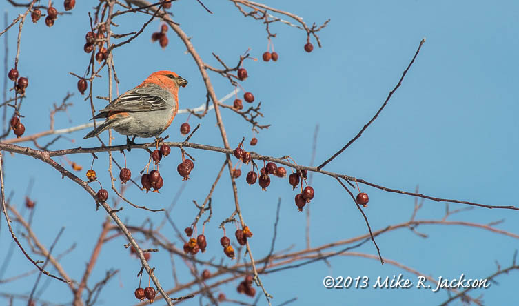 Pine Grosbeak Jan2013