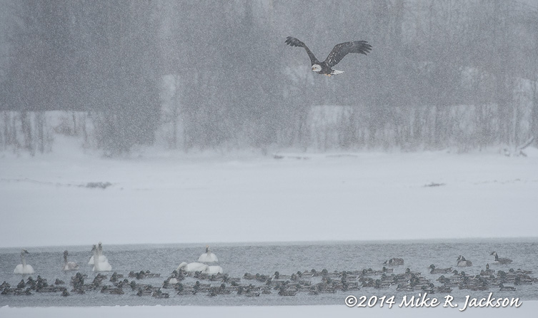 Web Bald Eagle Swans Jan29