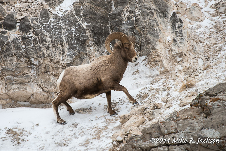 Web Bighorn On Snowy Traverse Jan13