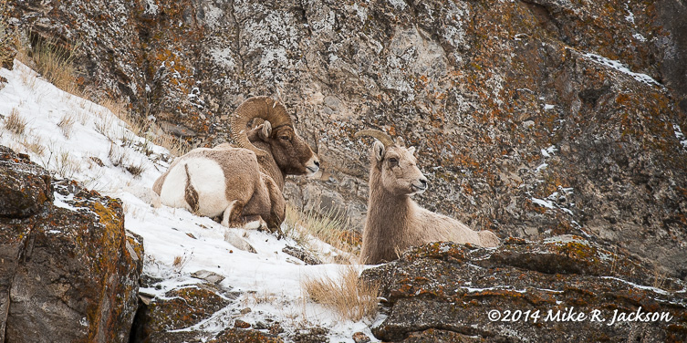 Web Bighorns Resting Jan13