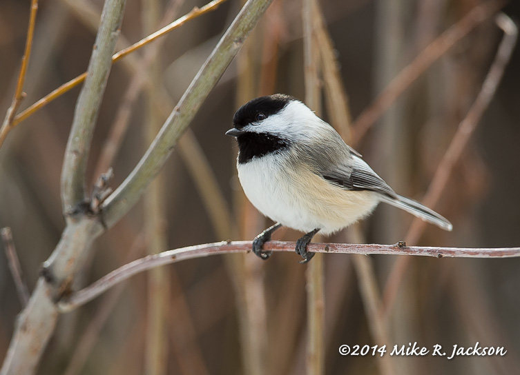 Web Black-capped Chickadee Jan7