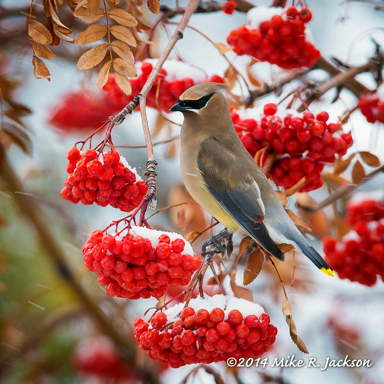 Web Cedar Waxwing On Berries Jan9
