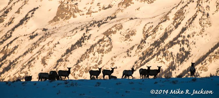 Web Elk Silhouettes Jan25