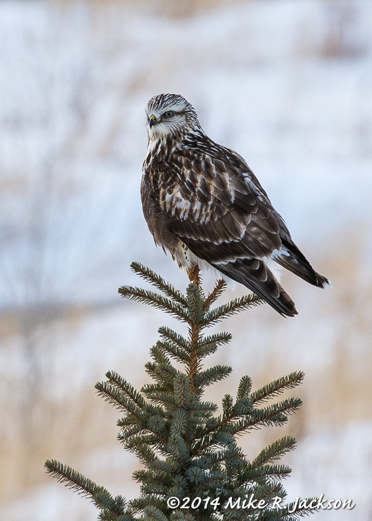 WebRuff Legged Hawk In Spruce Jan30