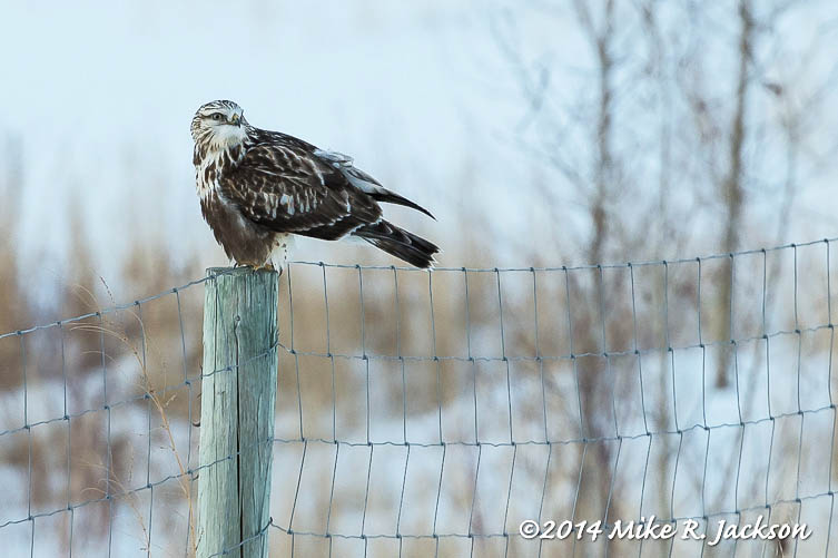 Web Ruff Legged Hawk Jan21