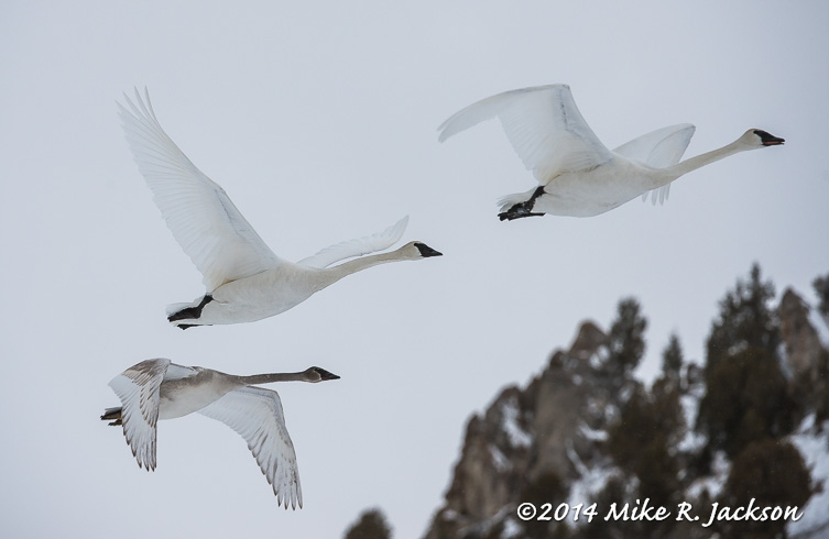 Web Swans In Flight Jan30