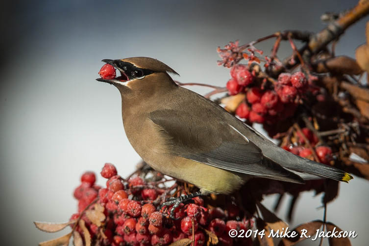 Web Waxwing Jan19