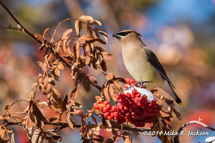Web Waxwing On Berries Jan1