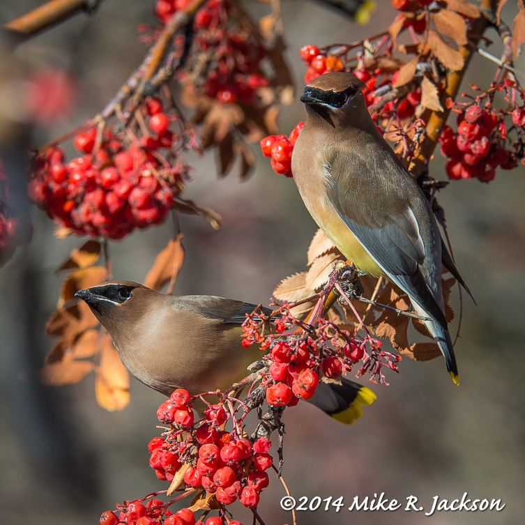 Web Waxwings Jan19
