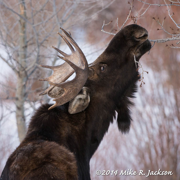 Web Young Bull Aspens Jan31