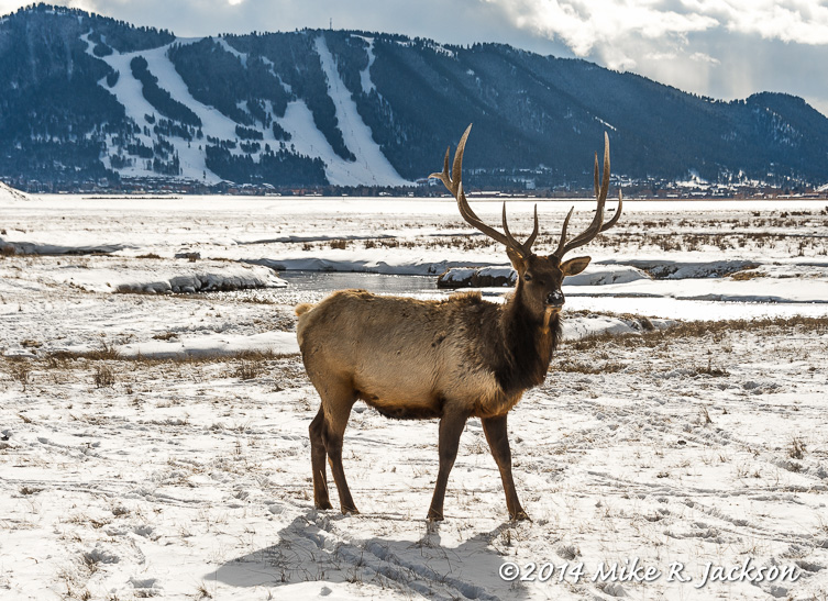 Palmated Antlers : Our...