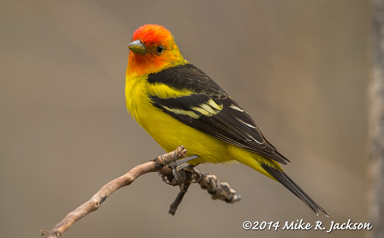 May Western Tanager