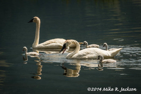 Trumpeter Swans: