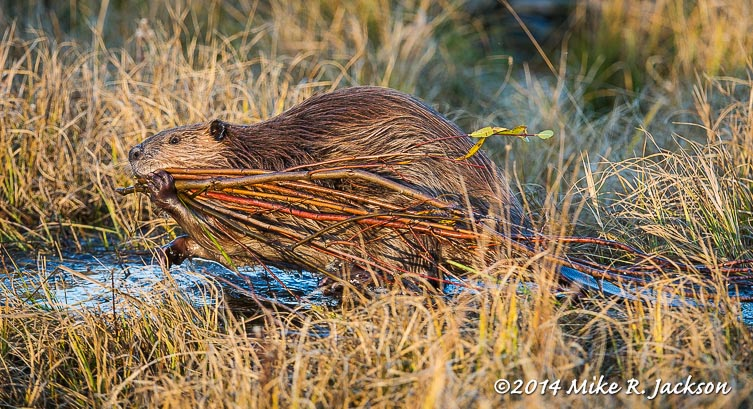 Beaver with Willows