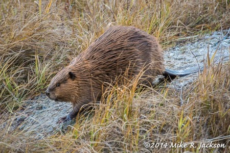 Beavers of Schwabacher Landing