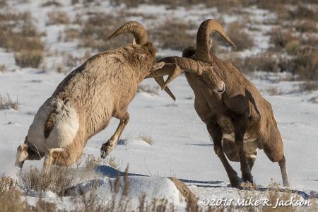 Bighorns of Miller Butte