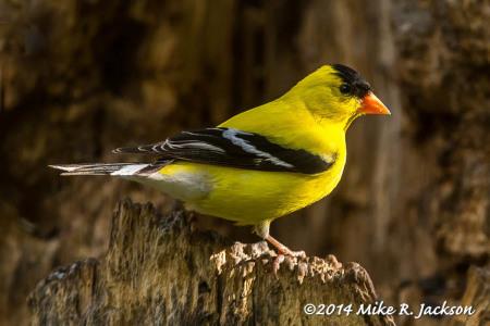 Back Yard Birding in Jackson Hole: