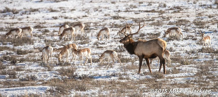 Elk and Pronghorns