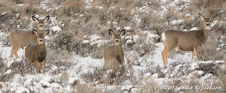 Hillside Mule Deer