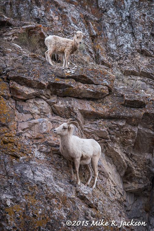 Bighorns and Rocks
