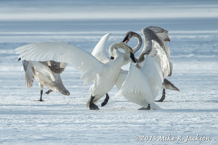 Swan Skirmish on Ice: