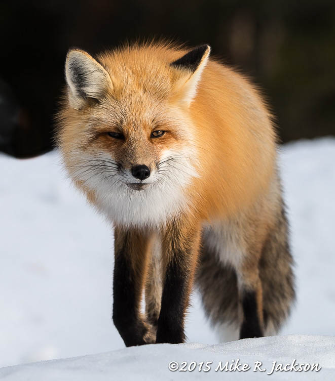 Red Fox Approaching: 220mm
