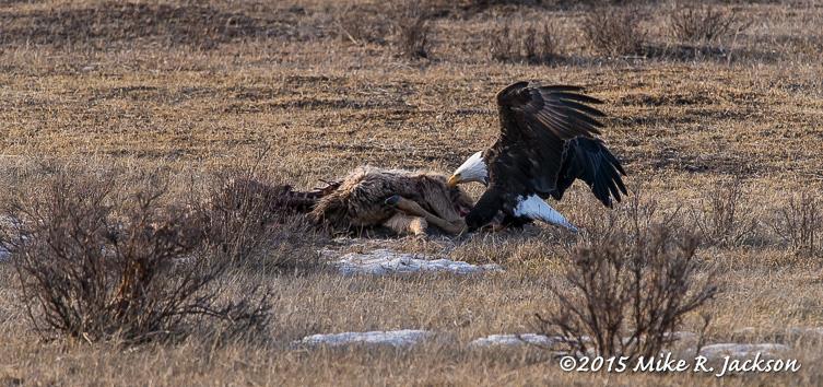Bald Eagle: 600mm
