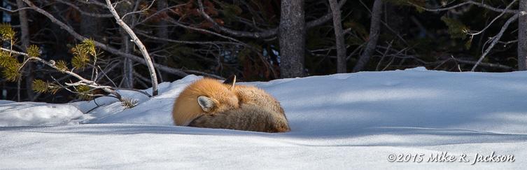 Sleeping Red Fox: 600mm