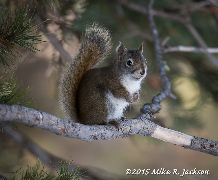 Red Squirrel: 600mm