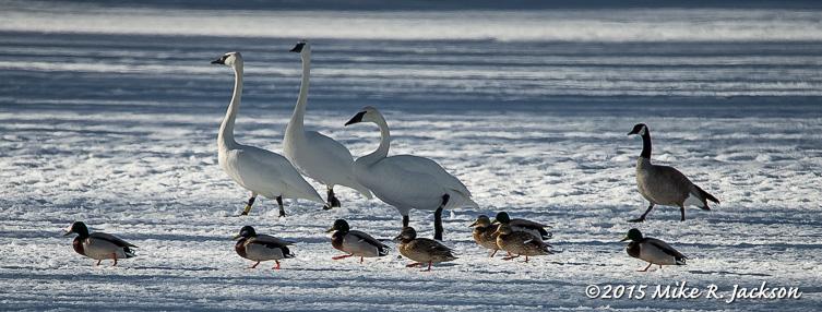 Swans, Ducks & Goose