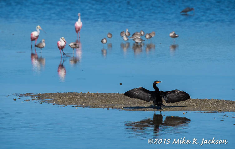 Sunning Cormorant