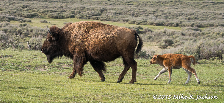 Bison and Baby