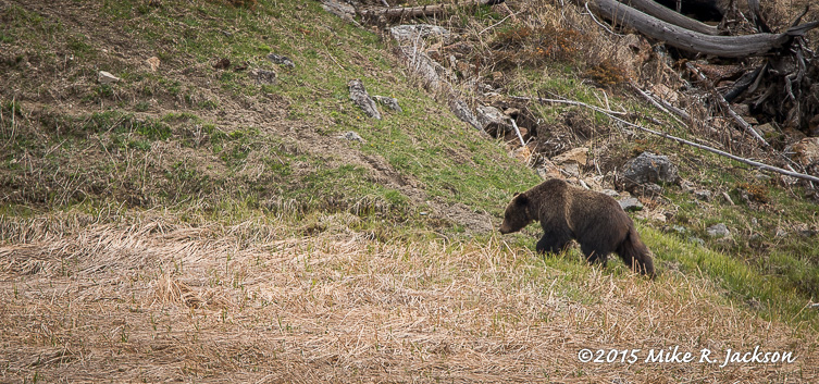 Grizzly: