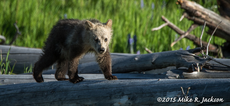 Grizzly Cub on a Log