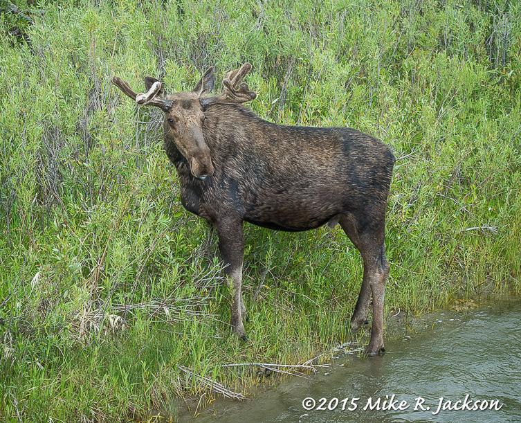Creekside Moose