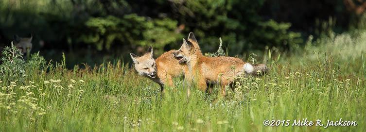 Red Fox Kits
