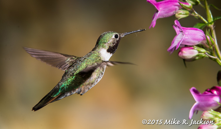 Hummer and Flowers