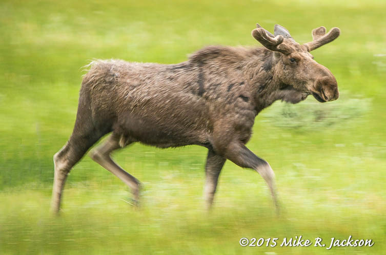 Moose in Motion