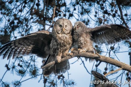 Great Horned and Great Gray Owls:
