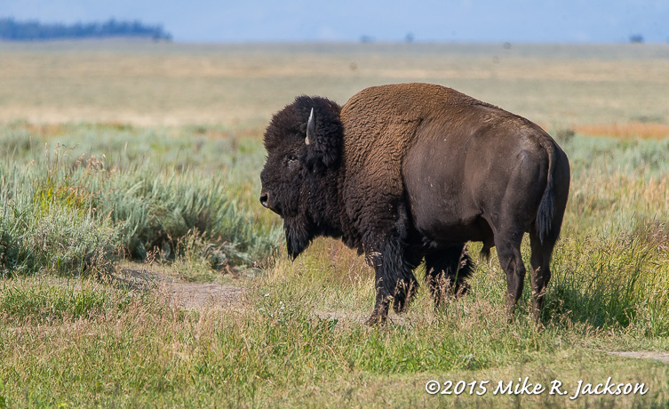 Bison Bull and Sage Flats