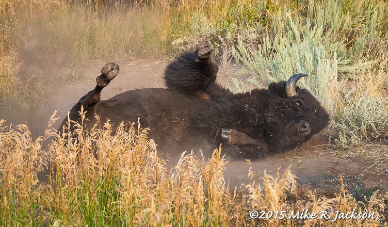 Rolling Bison