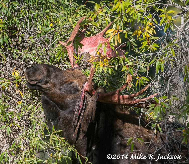 Antlers and Wyoming's Shiras Moose | Best of the Tetons