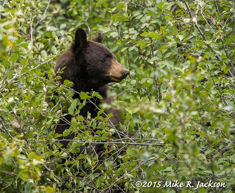 Cinnamon Bear in Hawthorne Bush