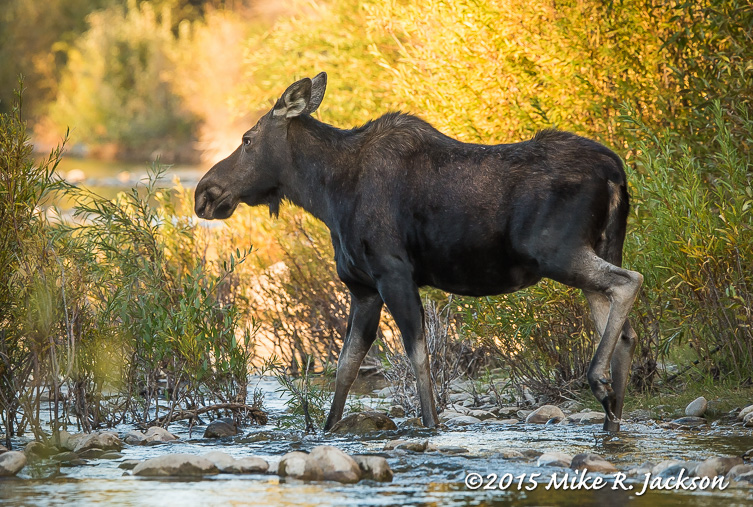Cow Moose in Gold