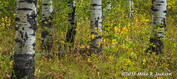 Aspen Trunks and Ground Cover