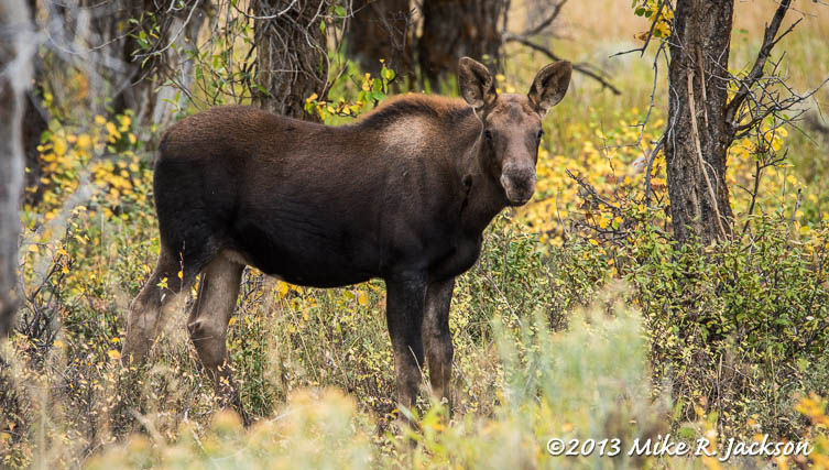 Moose Calf in Changing Ground Cover