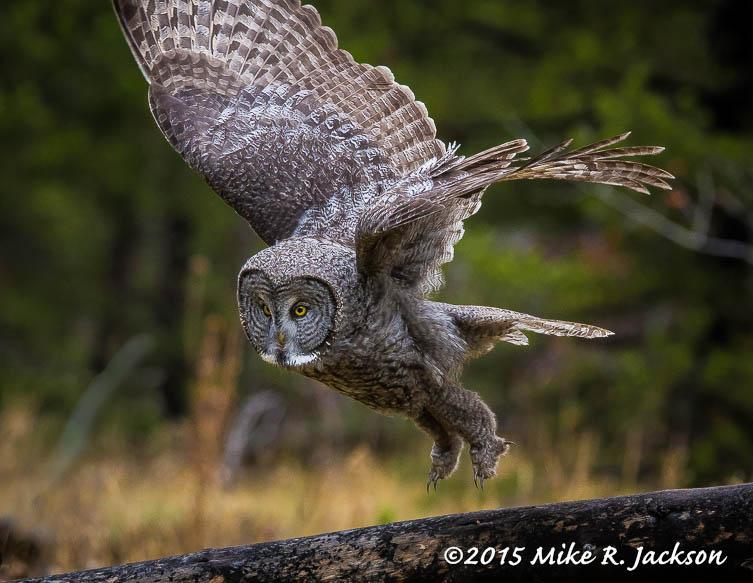 Grat Gray Owl