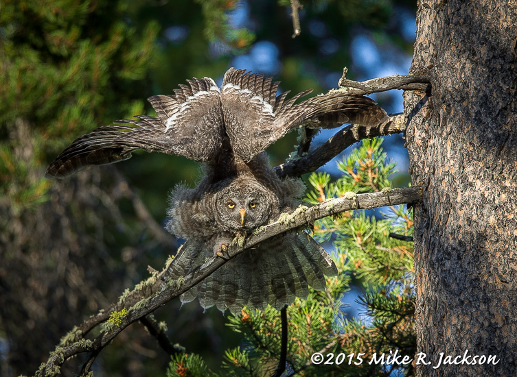Young Owl Stretching