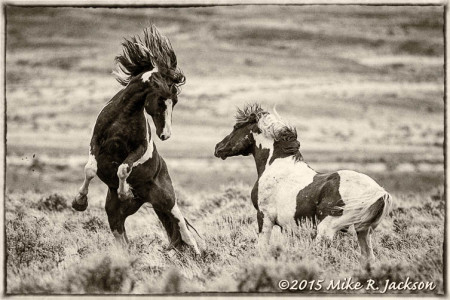 Wyoming's Fighting Stallions ~ Iconic...