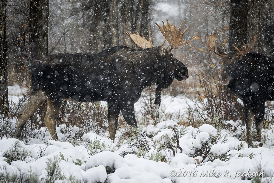 Snow and Moose